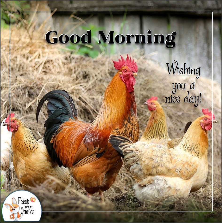 Wishing you a nice day, rule the roost, Red rooster, chickens, chicken farm, Country Morning, Good Morning, Country Good Morning, sunny morning, , good morning blessings, Country blessing, Good morning wishes, free country good morning photos, countryside photos,country girl morning, Country blessing, American country, down country, American country
