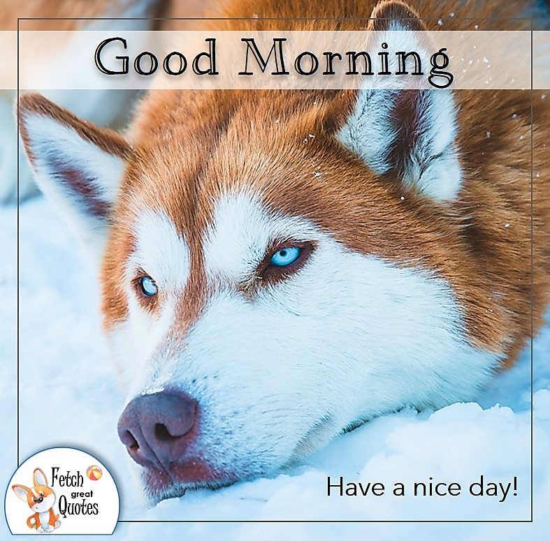 alaskan husky dog good morning quote photo, Have a nice day photo quote