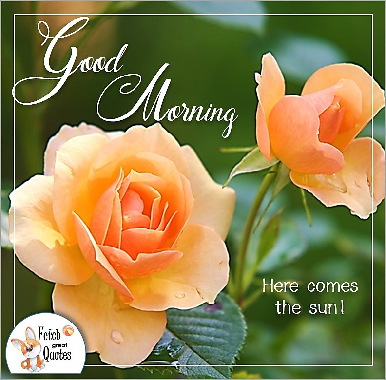 orange roses good morning quote photo, Here comes the sun photo quote