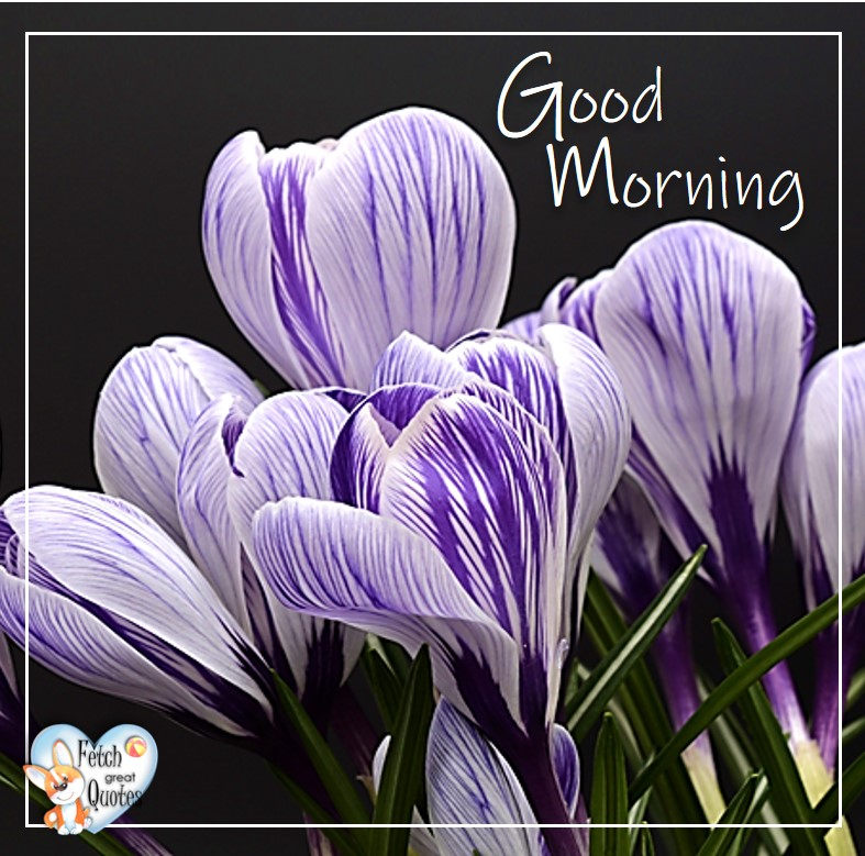 Purple corcuses, purple flowers, Spring Good Morning photo, Free Good Morning photo, Flower Photo, Spring Flowers