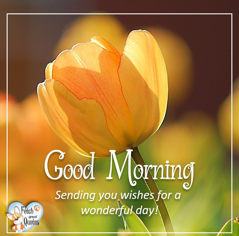 Yellow Tulip, sunny morning, Sending your wishes for a wonderful day, Spring Good Morning photo, Free Good Morning photo, Flower Photo, Spring Flowers