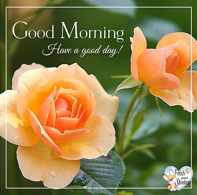 orange roses, soft roses, roses, Have a good day, Spring Good Morning photo, Free Good Morning photo, Flower Photo, Spring Flowers