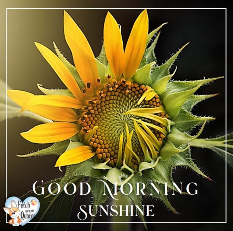Yellow sunflower, sunflower, Spring Good Morning photo, Free Good Morning photo, Flower Photo, Spring Flowers, Good morning sunshine